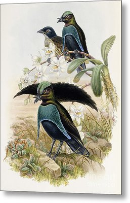 Superb Bird Of Paradise  Metal Print by John Gould