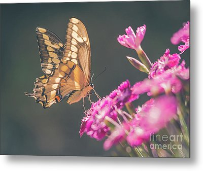 Swallowtail Butter Fly On Dianthus Metal Print by Cheryl Baxter