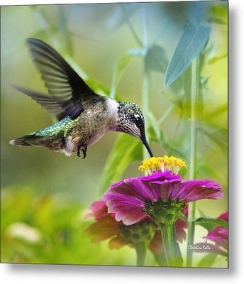 Sweet Success Hummingbird Square Metal Print by Christina Rollo