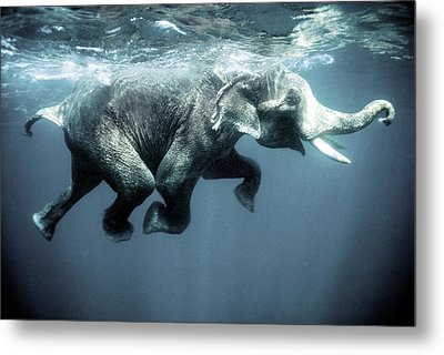 Swimming Elephant Metal Print by Olivier Blaise