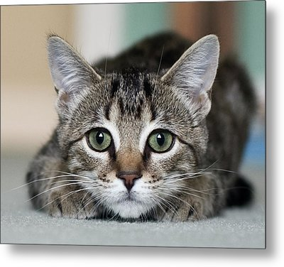 Tabby Kitten Metal Print by Jody Trappe Photography