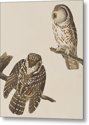 Tengmalm's Owl Metal Print by John James Audubon