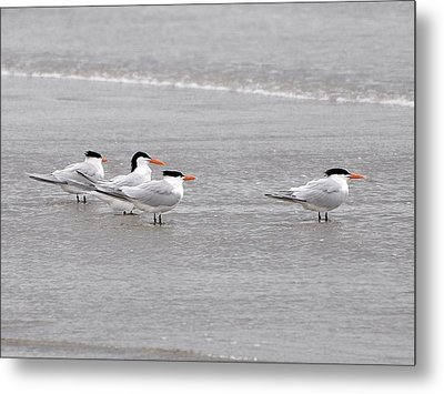 Terns Wading Metal Print by Al Powell Photography USA