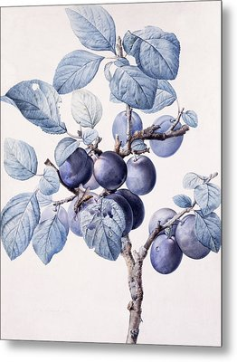 The Branch Of A Plum Tree Metal Print by Pierre Joseph Redoute