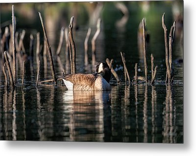 The Canada Goose Metal Print by Bill Wakeley