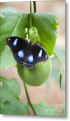 The Great Eggfly Butterfly Metal Print by Tim Gainey
