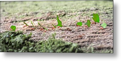 The Leaf Parade  Metal Print by Betsy C Knapp