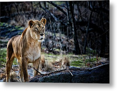 The Lioness Metal Print by Karol Livote