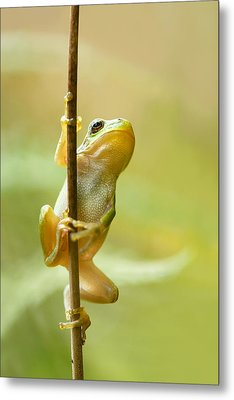 The Pole Dancer - Climbing Tree Frog  Metal Print by Roeselien Raimond