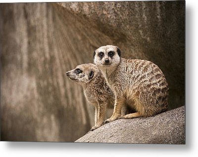 The Rock Of Meerkats Metal Print by Chad Davis