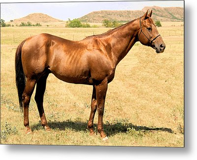 Thoroughbred From Right Side Metal Print by Cheryl Poland