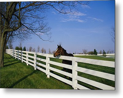 Thoroughbred Horse Lexington Ky Metal Print by Panoramic Images