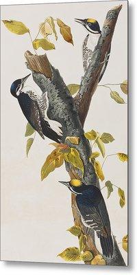Three Toed Woodpecker Metal Print by John James Audubon