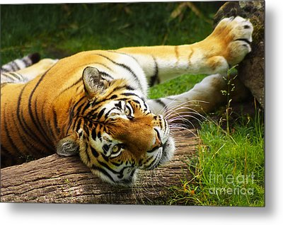 Tiger Metal Print by Angela Doelling AD DESIGN Photo and PhotoArt