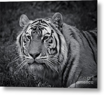 Tiger In The Grass Metal Print by Darcy Michaelchuk