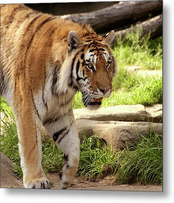 Tiger On The Hunt Metal Print by Gordon Dean II