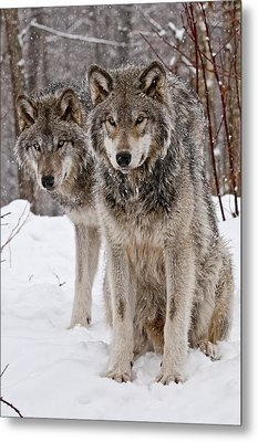 Timber Wolves In Winter Metal Print by Michael Cummings