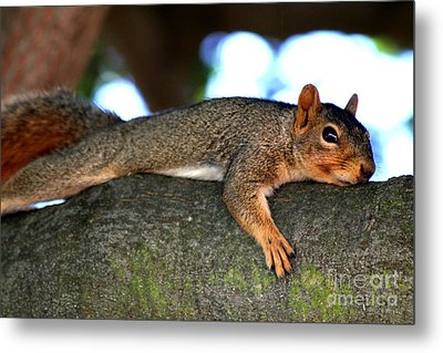 Tired Old Squirrel . R6622 Metal Print by Wingsdomain Art and Photography