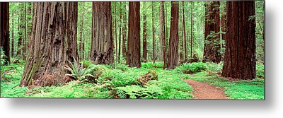 Trail, Avenue Of The Giants, Founders Metal Print by Panoramic Images