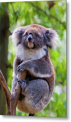 Treetop Koala Metal Print by Mike  Dawson
