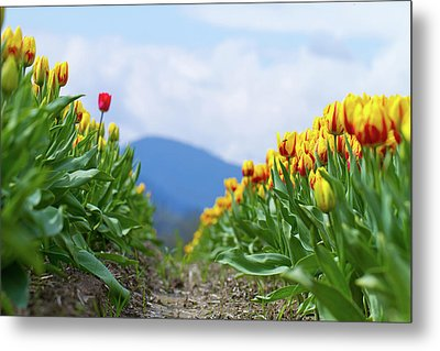 Tulip Farm Metal Print by Naman Imagery