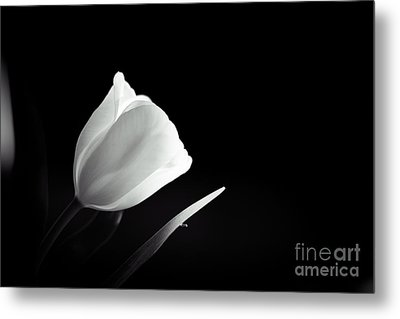 Tulip In Black And White Metal Print by Cheryl Baxter