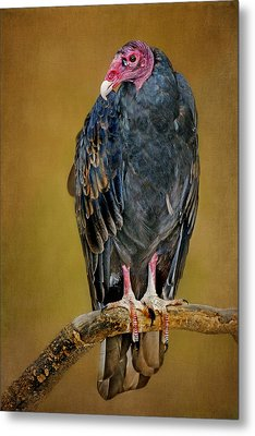 Turkey Vulture Metal Print by Nikolyn McDonald