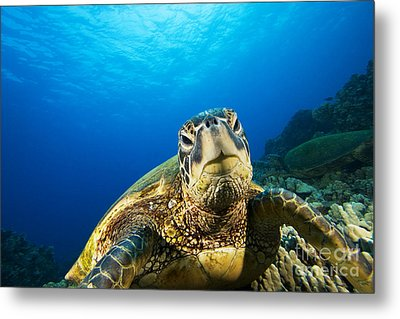 Turtle Stare Metal Print by Dave Fleetham - Printscapes