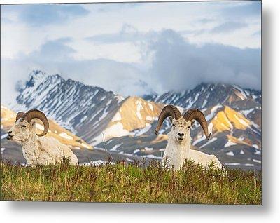 Two Adult Dall Sheep Rams Resting Metal Print by Michael Jones