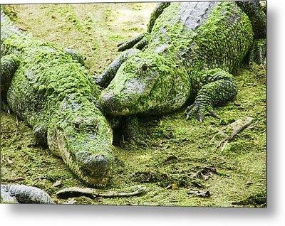 Two Alligators Metal Print by Garry Gay