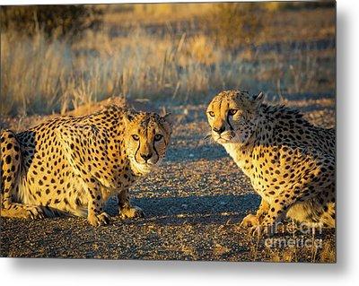 Two Cheetahs Metal Print by Inge Johnsson