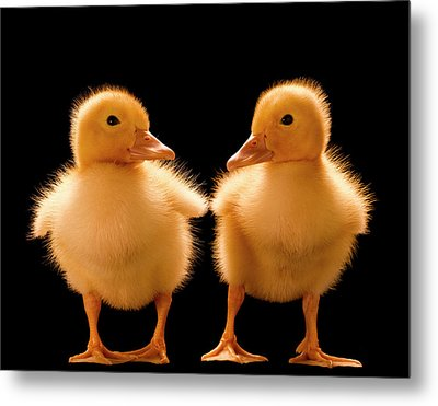 Two Ducklings Looking At One Another Metal Print by Don Farrall