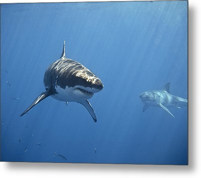 Two Great White Sharks Metal Print by Photo by George T Probst