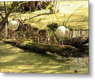 Two Ibises On A Log Metal Print by Carol Groenen