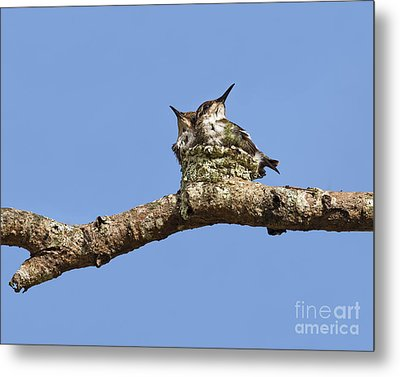 Two Of A Kind... Metal Print by Nina Stavlund
