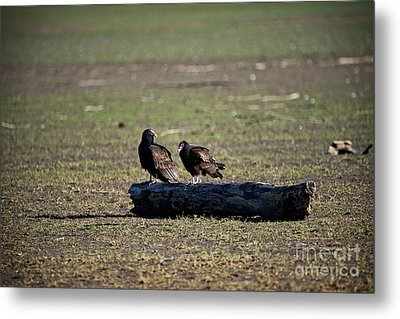 Two Old Buzzards Metal Print by Charles Dobbs
