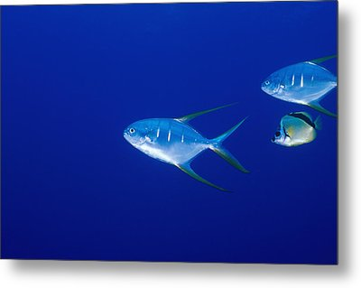 Two Pompano Fish And A Cleaner Fish Metal Print by James Forte