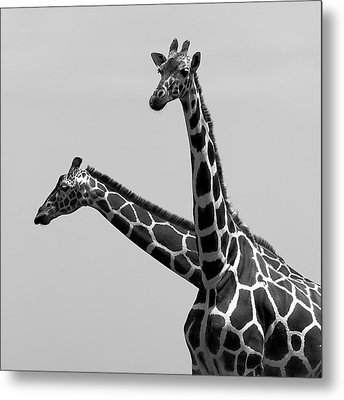 Two Reticulated Giraffes Metal Print by Achim Mittler, Frankfurt am Main