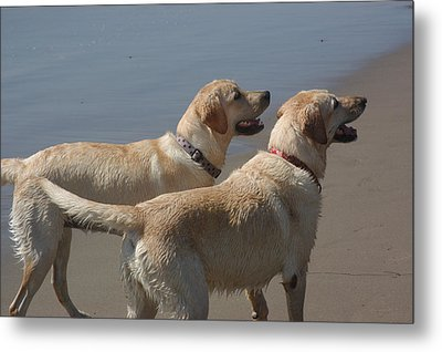Two Yellow Labs Wait In Anticipation Metal Print by Stacy Gold