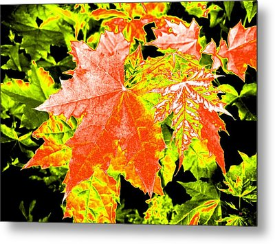 Upbeat Maple Leaves  Metal Print by Will Borden