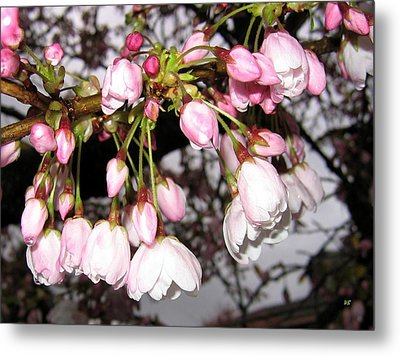 Vancouver Cherry Blossoms Metal Print by Will Borden