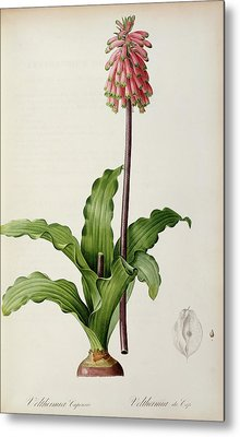 Veltheimia Capensis Metal Print by Pierre Joseph Redoute