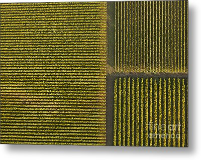Vineyard From Above Metal Print by Diane Diederich