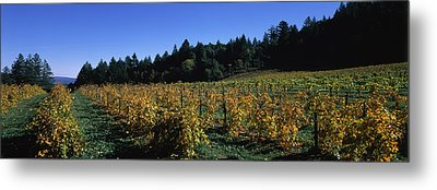 Vineyard In Fall, Sonoma County Metal Print by Panoramic Images