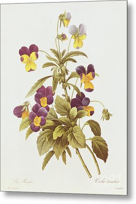 Viola Tricolour  Metal Print by Pierre Joseph Redoute