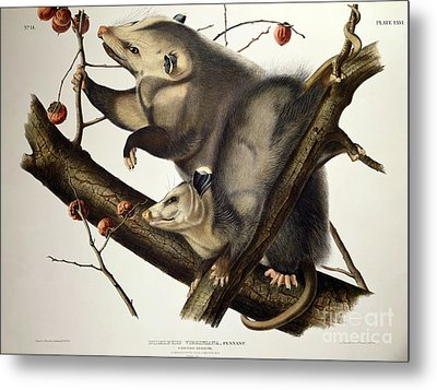Virginian Opossum Metal Print by John James Audubon