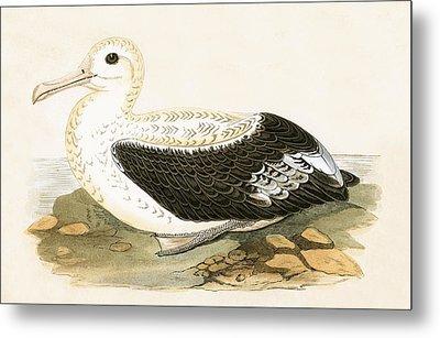 Wandering Albatross Metal Print by English School