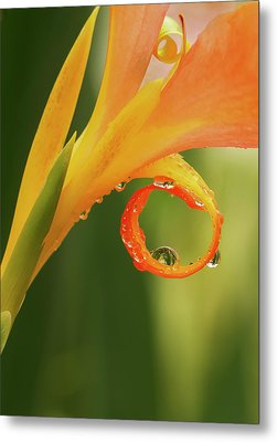 Water Drops On Canna Curl Metal Print by Jean Noren