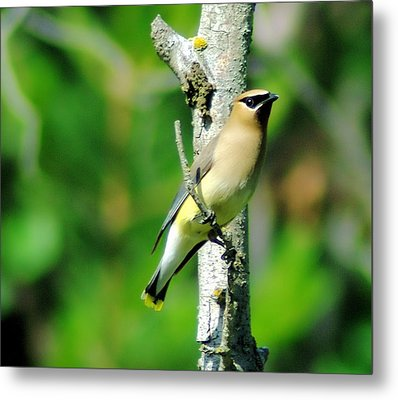 Wax Wing In A Small Branch  Metal Print by Jeff Swan