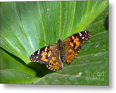 West Coast Lady Butterfly Metal Print by Kelly Holm